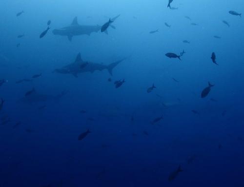 Nurkowanie na Galapagos w Ekwadorze – Wyspy Darwin i Wolf – Perły Pacyfiku